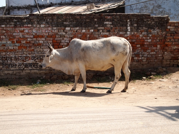 one of millions of cows in India ~ on the streets of Varanasi