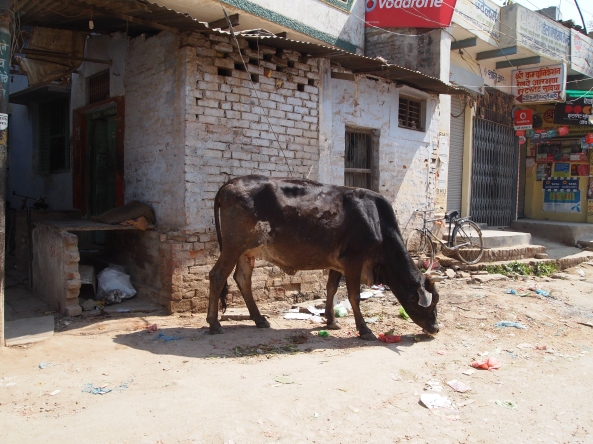 cows are EVERYWHERE on the streets of Varanasi, scrounging around in garbage & living alongside people