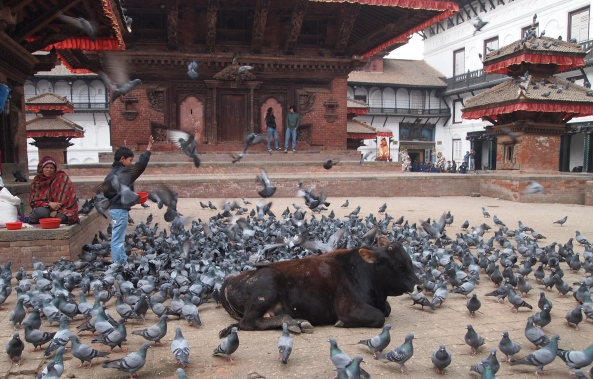 cows and pigeons in the square