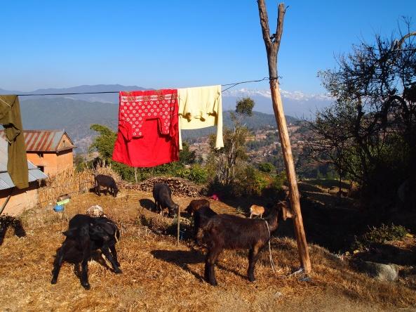 goats and washline