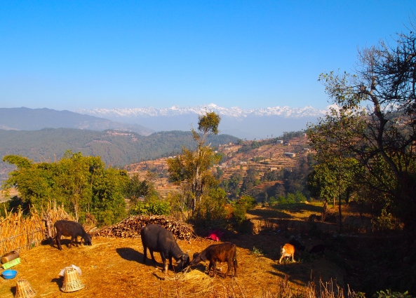 livestock, terraces and the Himalayas