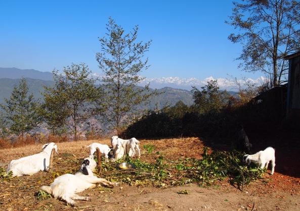 goats & mountains
