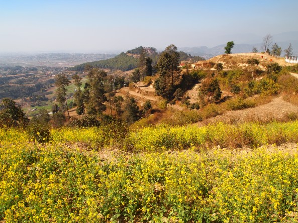 fields of mustard with Changu Narayan on the hill in the background