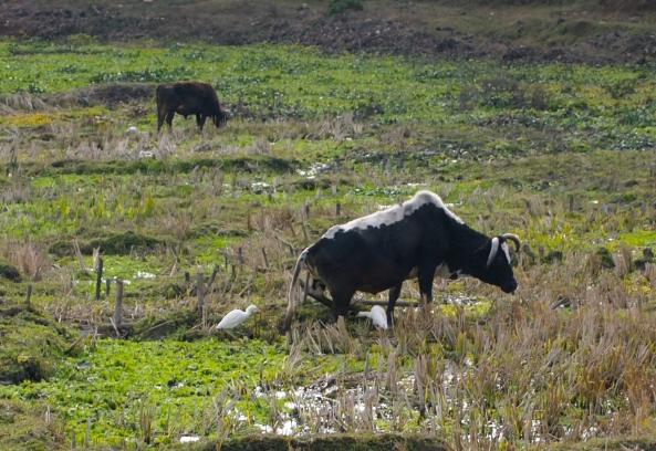 water buffalo and egrets