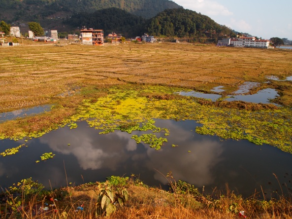 wetlands along Phewa Tal lakeshore